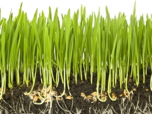 Wheat grass image shutterstock